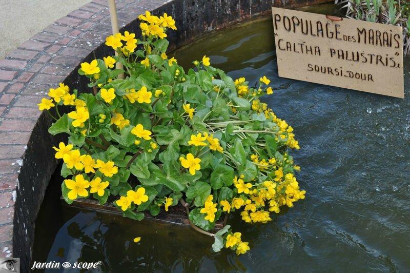 Populage des marais • Caltha palustris
