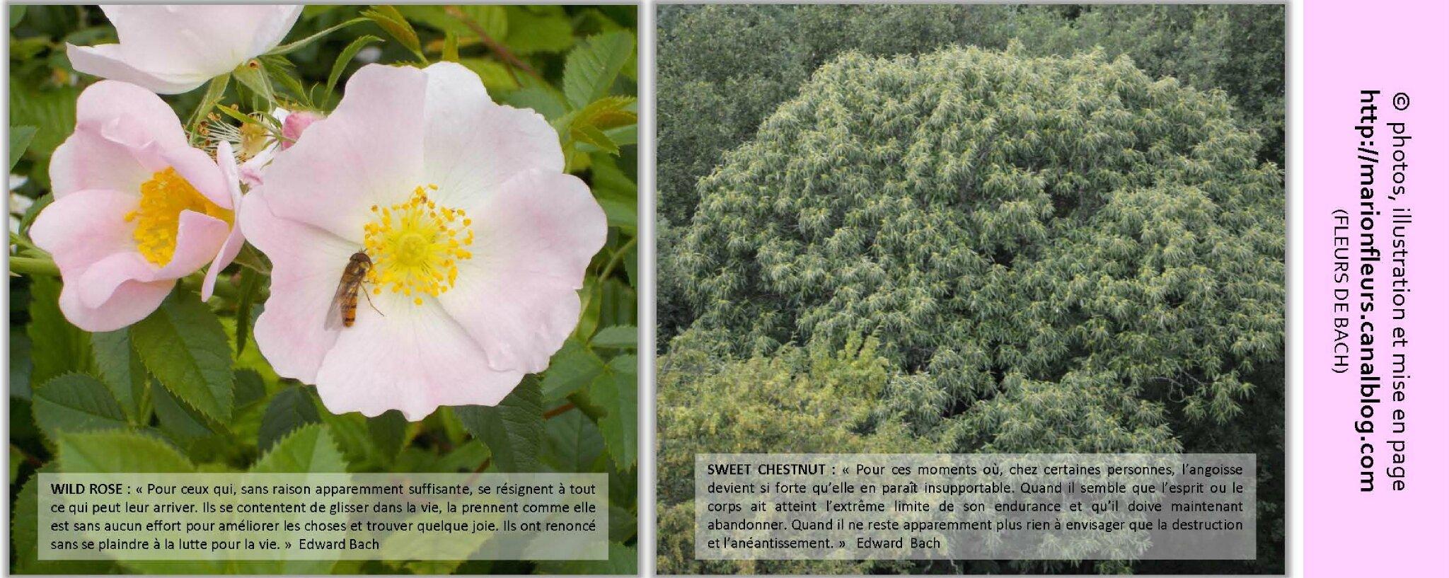 Ces prescripteurs de Fleurs de Bach qui ne connaissent pas le système ! / Coup de gueule / FDB : Sweet Chestnut, Wild Rose