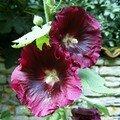 Rose trémière 07