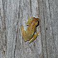 Dendropsophus walfordi - Rainette naine