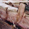 Morceau du Séquoia après l'orage, Isneauville, août 2004