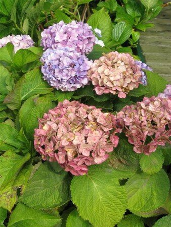 hortensia_002__Medium_