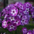 2009 07 26 Fleurs de Phlox