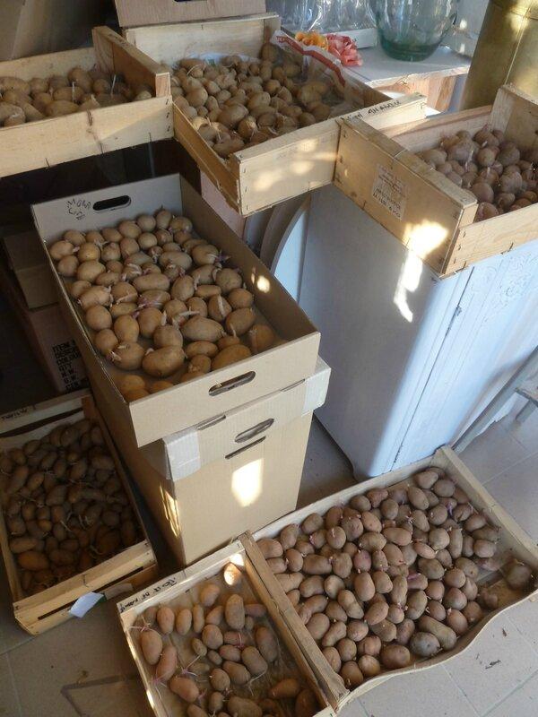 6-semence de pommes de terre (4)