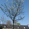 Cerisier en fleurs devant la maison