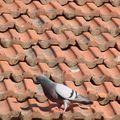 un pigeon sur le toit voisin