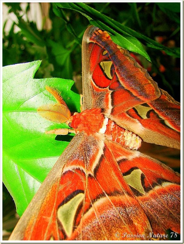 Papillon Attacus Atlas ou Bombyx Atlas (15)