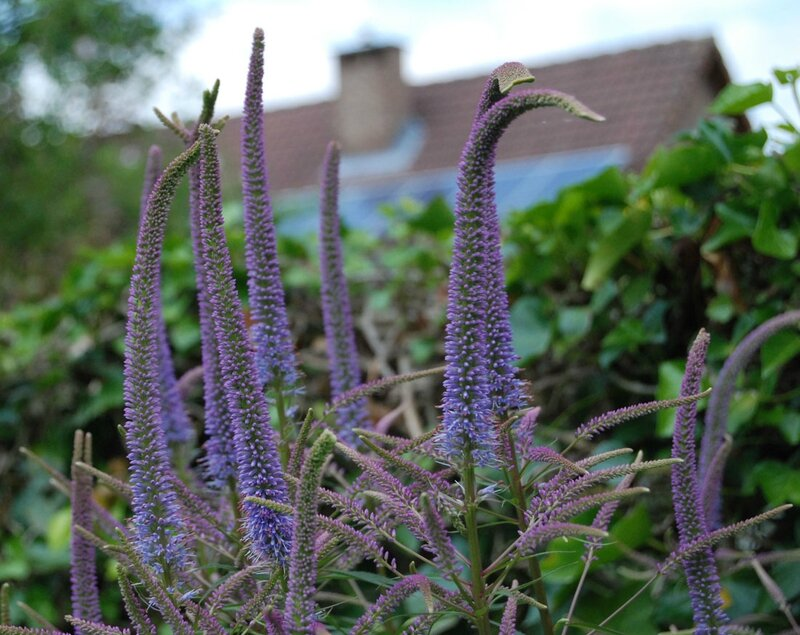 Veronicastrum virginicum' Fascination'