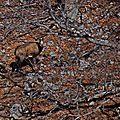 Photos de chamois sur le plateau de céüse dans les hautes alpes du 24/03/2014