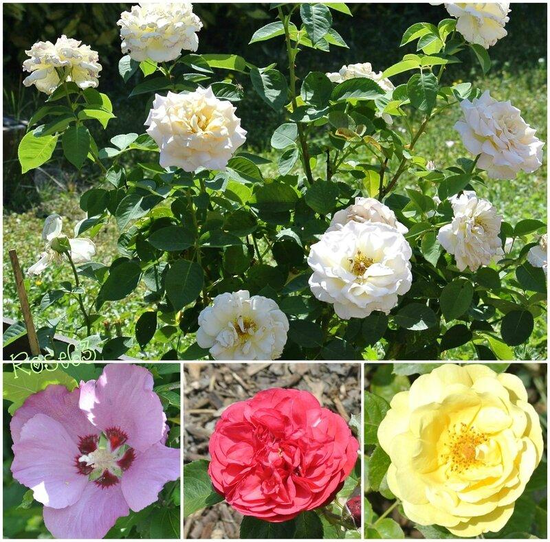Mes fleurs Rose63