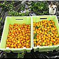 La récolte des mirabelles : la cata