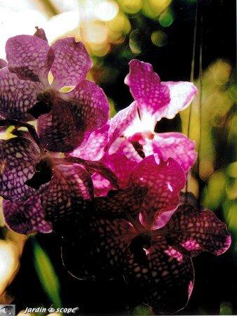orchidee_mauve_mouchete