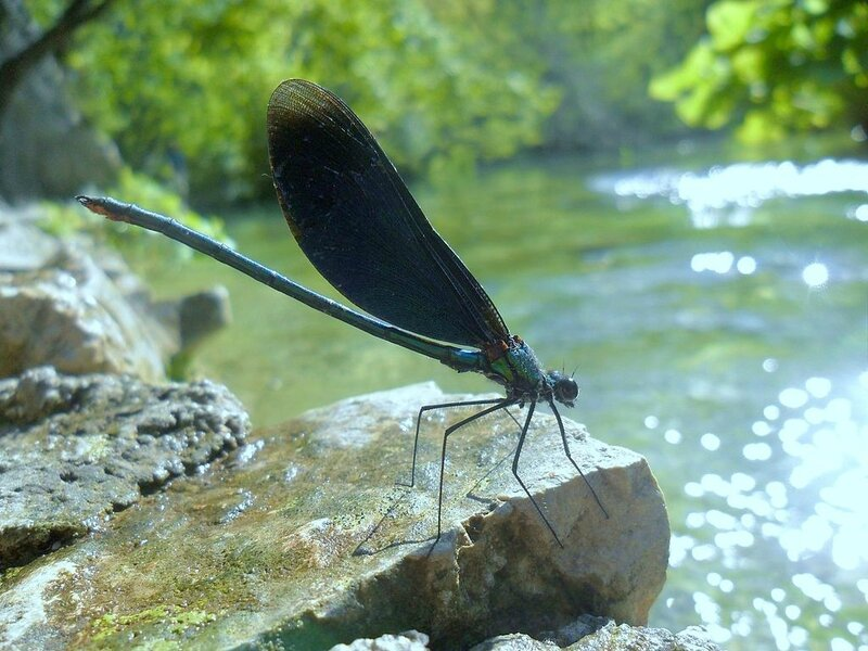 Calopteryx_virgo,_Plitvice_Lakes_National_Park,_Croatia_-_20100728
