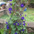 2009 08 25 Mes ipomées (volubilis) en fleurs