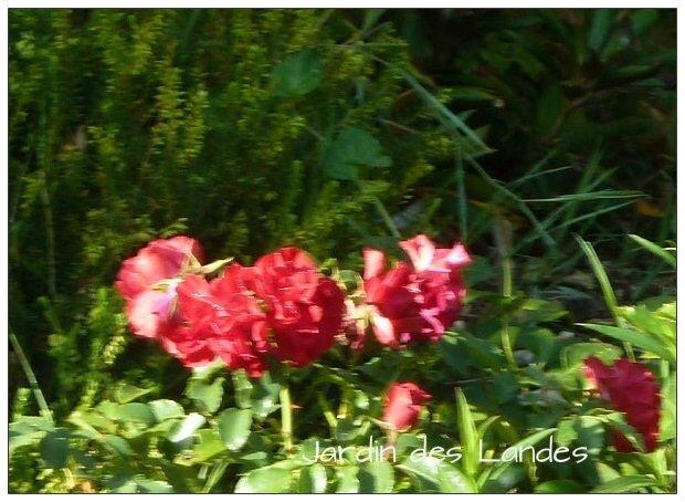 rosier Rotilia nain
