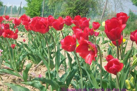 tulipes_rouges