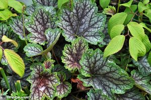 Heuchera-x-Beauty-Color
