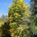 Caryer blanc • Carya ovata • Juglandaceae