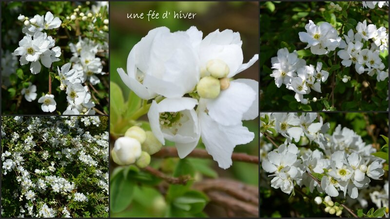 EXOCHORDA MACRANTHA the bride2