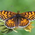 Melitaea cinxia (Mlite des centaures)
