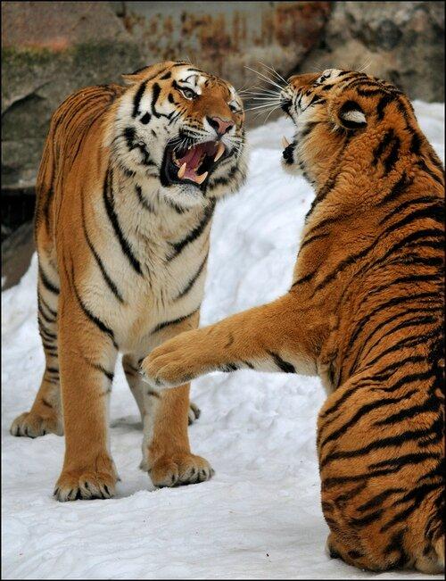 tigrenrFD1rw6hhbo1_500