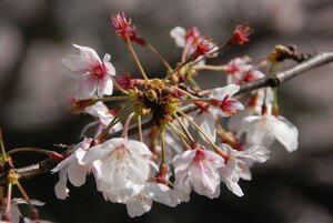 cerisier__15_