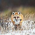 renard hiver_1280