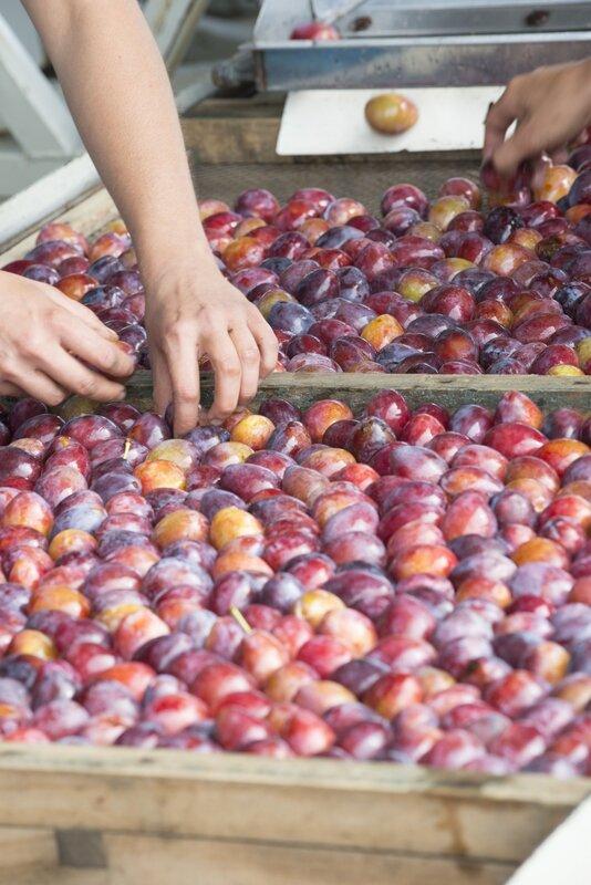 des prunes d'ente aux pruneaux (13)