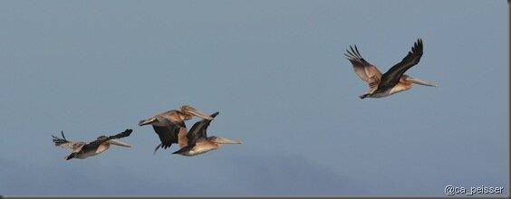 pt_pelican_sf