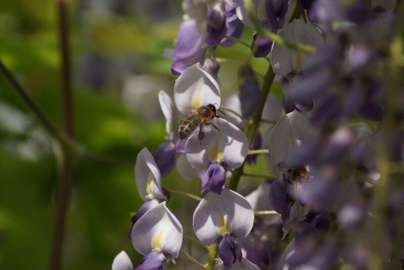 abeille et glycine 36