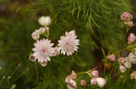 astrantia_major_buckland2