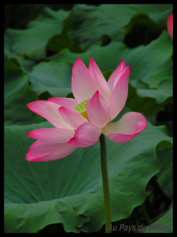 Hangzhou Xihu Saison des Lotus 14