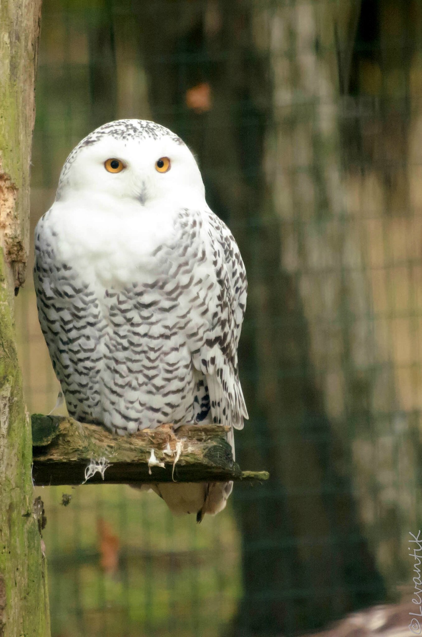 Harfang des neiges - Bubo scandiacus (1)
