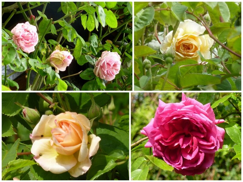 roses17