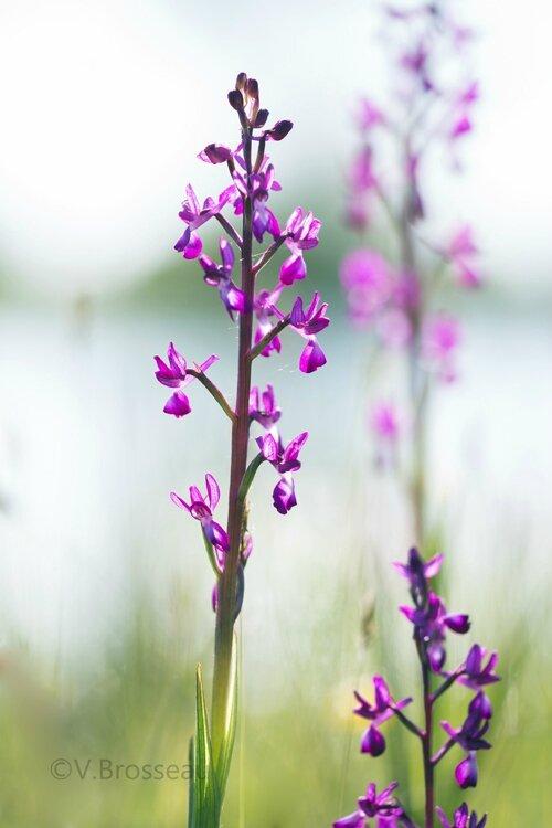 orchis-a-fleur-lache-16-02