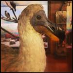 reconstitution du dodo / © Musée africain