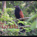 The greater coucal / crow pheasant