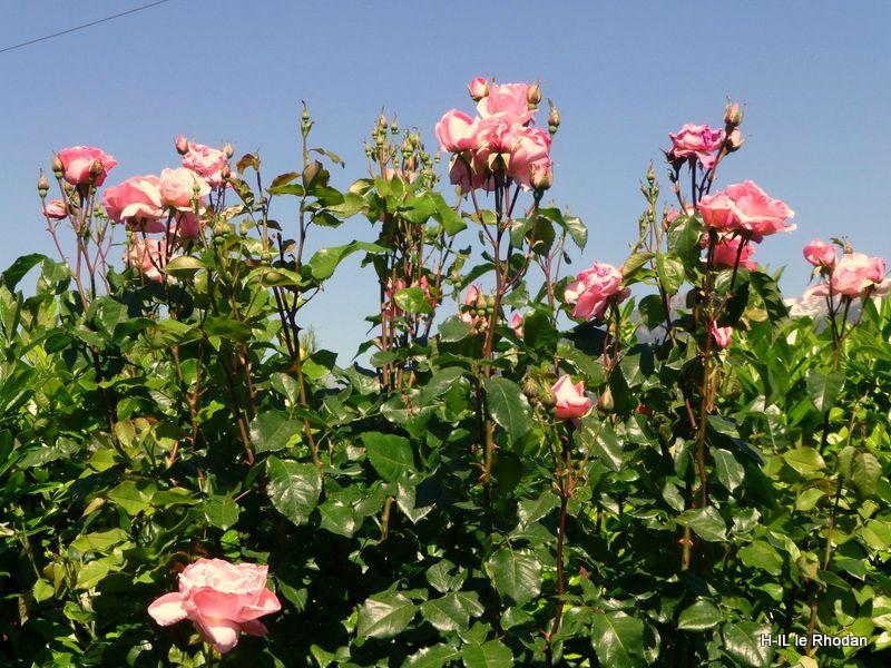 08-Fleurs 2013-06-16 (9)