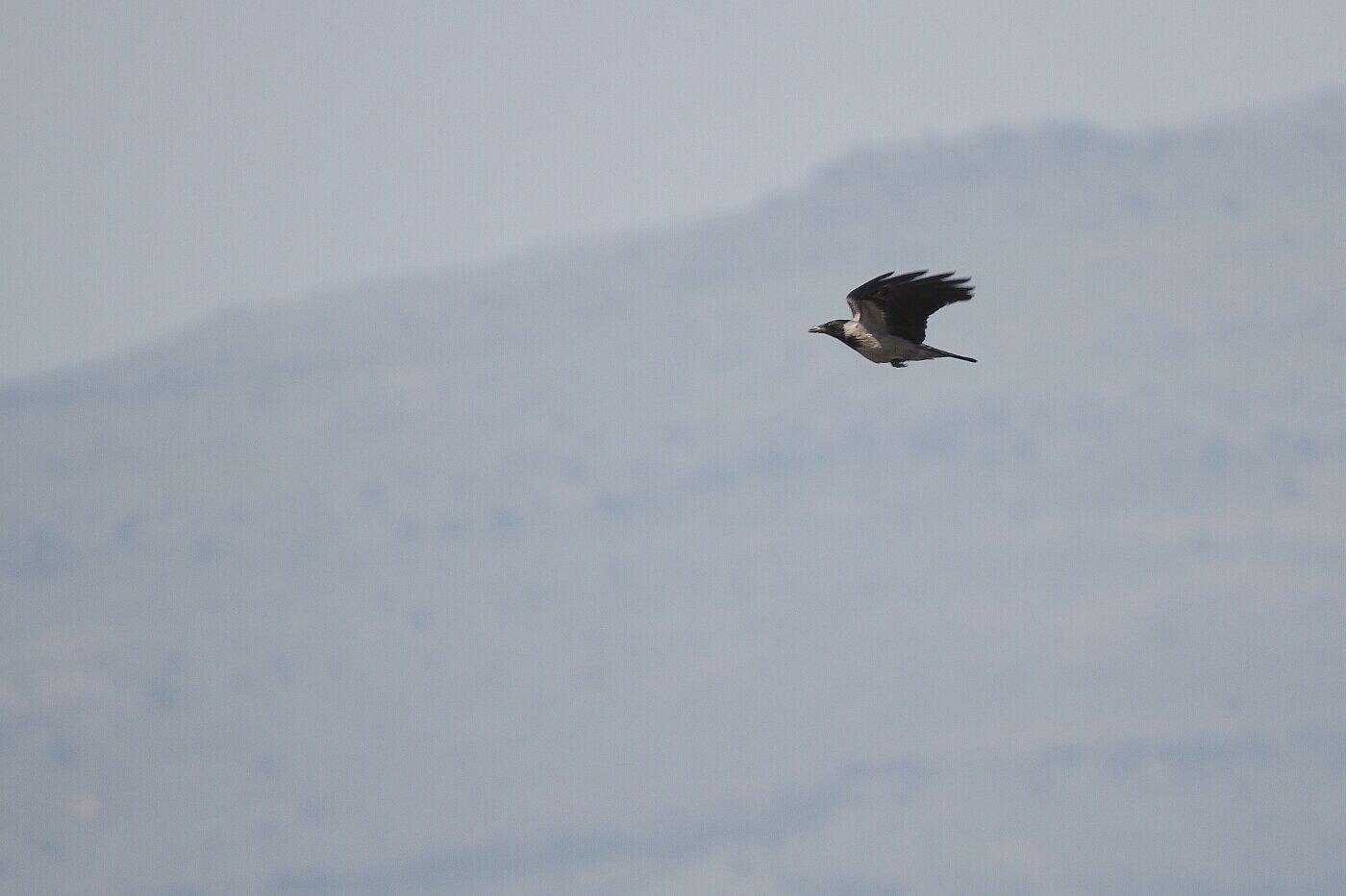 Lesbos oiseaux 05 - Corneille mantelée