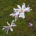 Magnolia étoilé 1903162