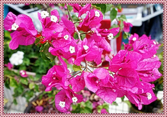 BOUGAINVILLIERS ROSES