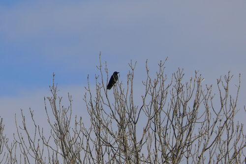 2008 12 28 Un corbeau sur un arbre