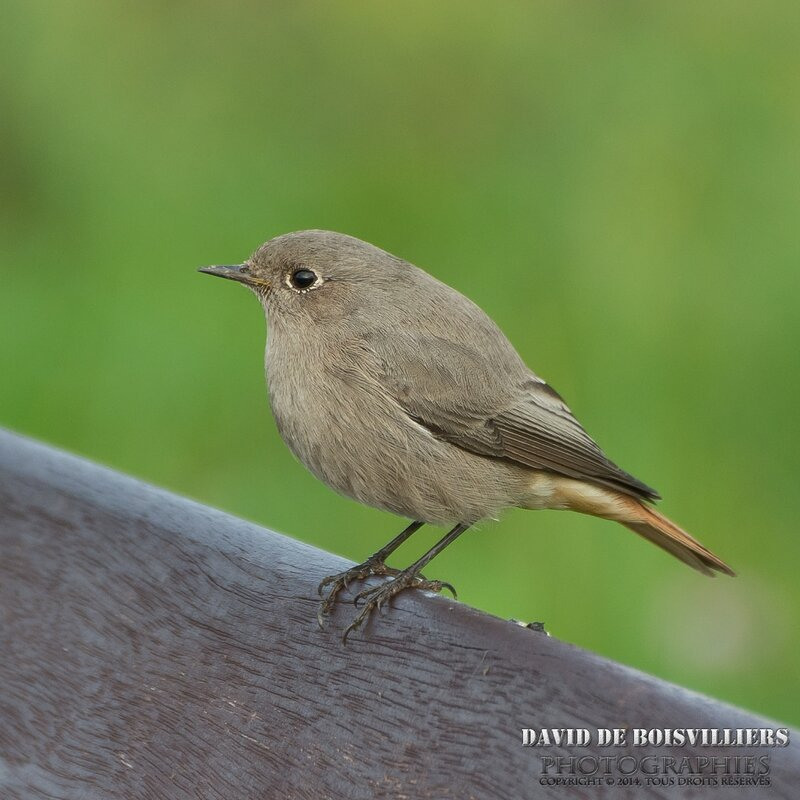 Rougequeue noir (Phoenicurus ochruros - Black Redstart) ♀