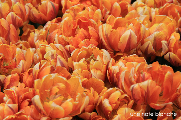 Keukenhof_tulipe_orange