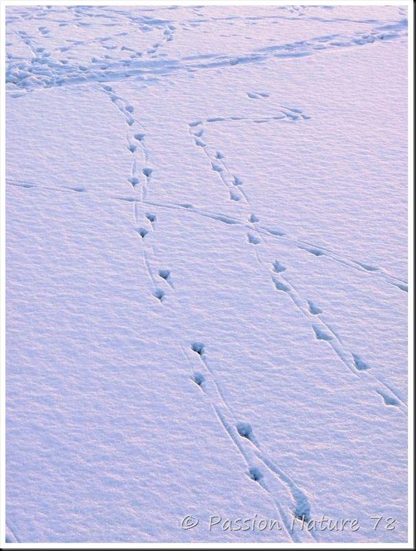 Traces d'animaux dans la neige (18)