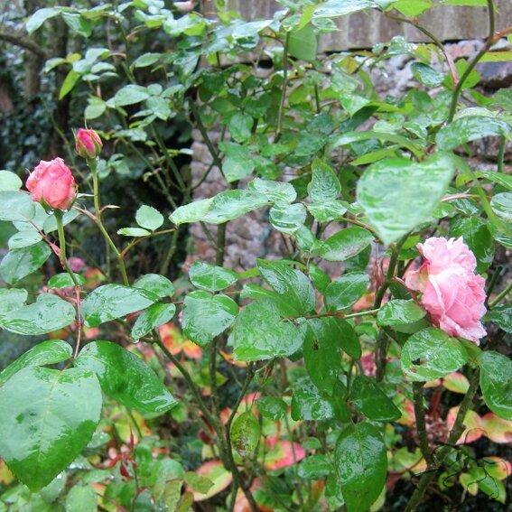 rose b