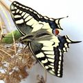 naissance du machaon