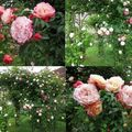 Rose ancienne : 'Maxime Corbon'