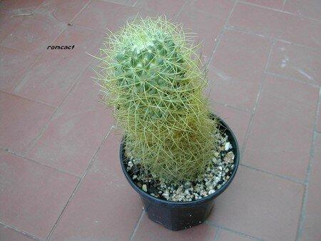Mammillaria_pringlei__1_