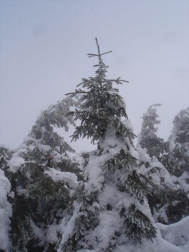 2008 12 22 Des sapins enneigés au Pilat